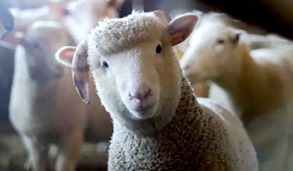 French school enrolls 15 sheep as students in ceremony attended by students, teachers
