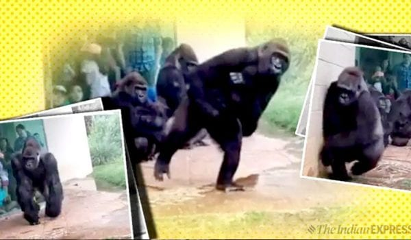 Watch: Hilarious video of gorillas trying to stay out of rain goes viral